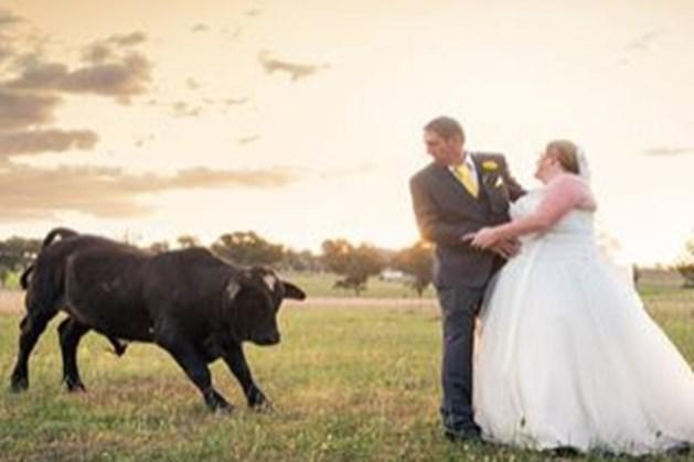 Stier valt aan tijdens nemen trouwfoto's