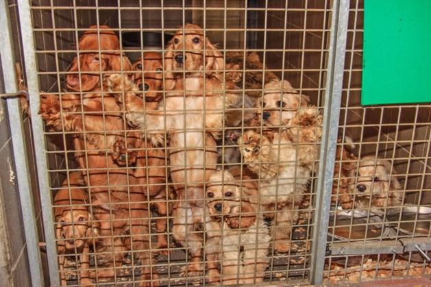 Weyts wil import puppy's terugdringen