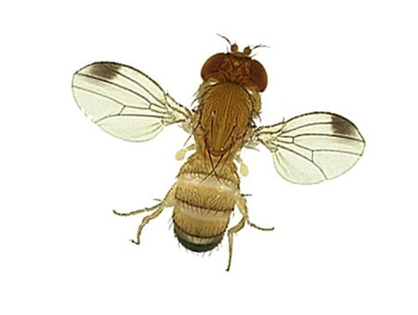 Nieuwe suzukivlieg vernielt deel van blauwe druivenoogst