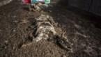 Negen koeien liggen twee jaar dood in stal