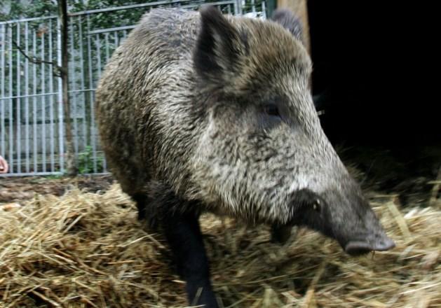 Spaanse leverancier leverde besmet everzwijnvlees aan nog vijf andere Belgische bedrijven