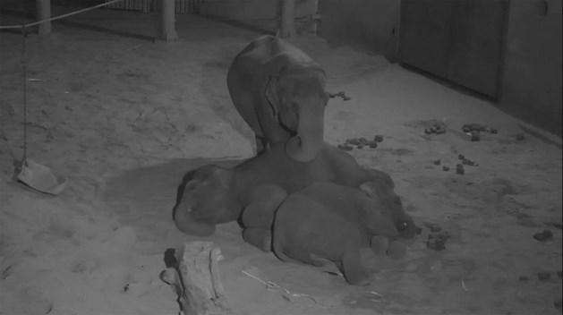 Opnieuw beweging in buik van zwangere olifant