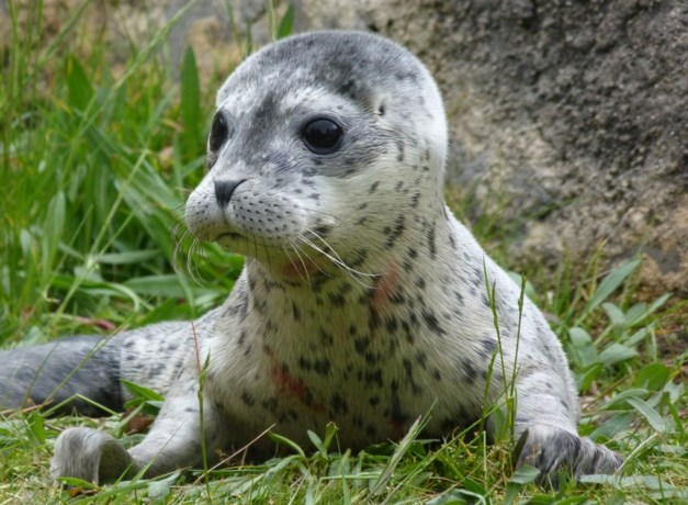 Noorwegen stopt met subsidies voor jacht op zeehonden