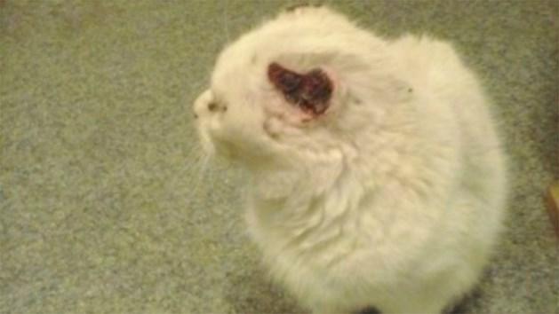 Kat met 'afgesneden oortjes' gevonden