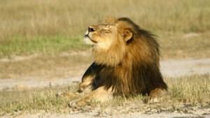 Zimbabwe beperkt jacht na dood leeuw Cecil