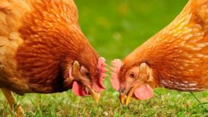 QUIZ. Wat mogen kippen eten?