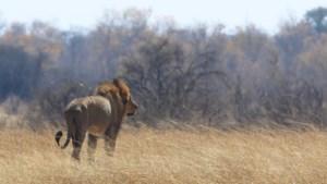 Zimbabwe laat jacht op groot wild weer gedeeltelijk toe