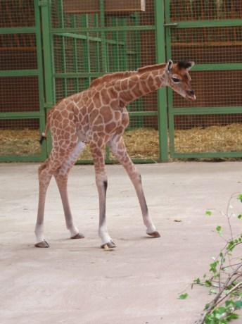 Giraf geboren in dierenpark Monde Sauvage