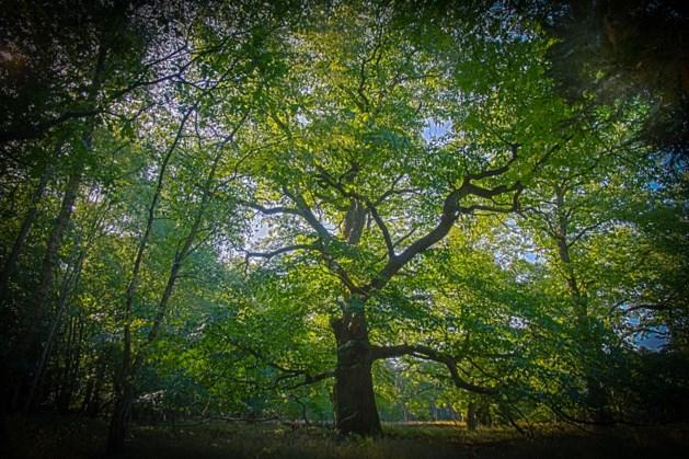 Mooiste boom van Vlaanderen in Overpelt?