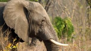 Zimbabwe: veertig olifanten vergiftigd met cyanide