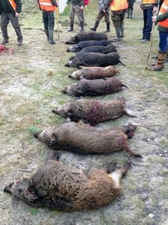 12 everzwijnen geschoten tijdens drijfjacht