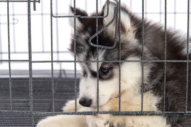 """Duitsland pakt """"puppymaffia"""" aan in Oost-Europa"""