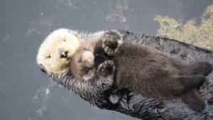 Otter wiegt pasgeboren nageslacht in slaap