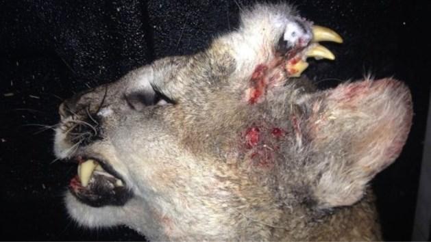 Wetenschappers verstomd nadat jagers dit dier neerschieten