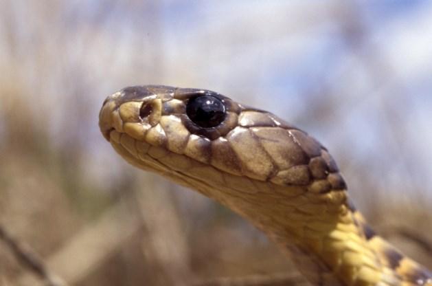 Uitgezocht: kunnen er ook bij ons slangen uit de wc-pot kruipen?
