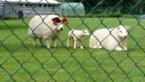 Zelfs de Limburgse schapen supporteren voor Rode Duivels