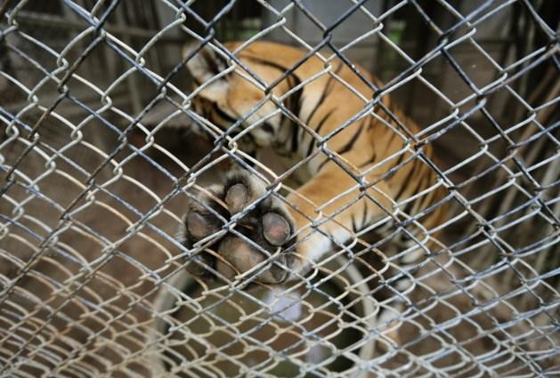 Medewerkster van de zoo in Benidorm gedood door tijger