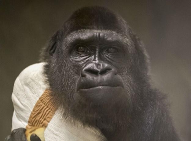 Gorilla Kiki na lange lijdensweg overleden in Antwerpse Zoo