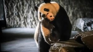 """Babypanda P. zien in Pairi Daiza kan voortaan enkel """"op afspraak"""""""