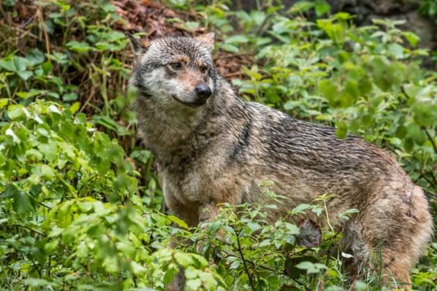 Wolf nu ook echt gespot in de Ardennen