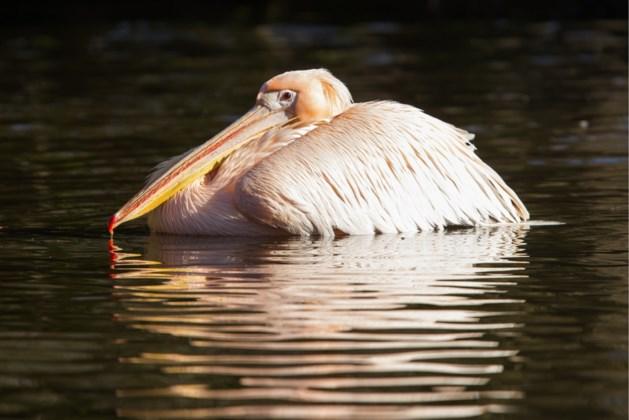 Inbrekers doden roze pelikaan en stelen eieren in Amsterdamse zoo