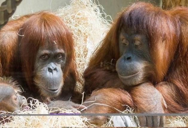 Drama voor Pairi Daiza: nieuwe orang-oetang sterft vlak voor afreis naar ons land