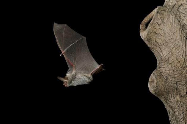 Consumenten vinden dode vleermuis in voorverpakte sla