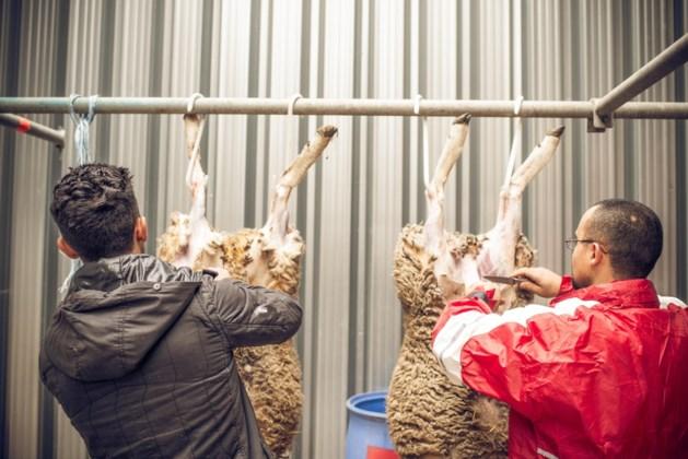 GAIA dagvaardt Federaal Voedselagentschap voor onverdoofd slachten