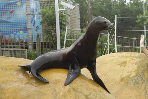 Voor het eerst zeeleeuwen in Beekse Bergen