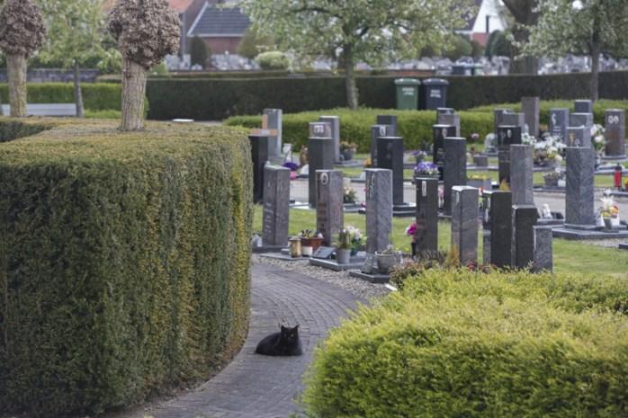 Zwerfkatten verstoren begrafenissen op kerkhof van Diepenbeek