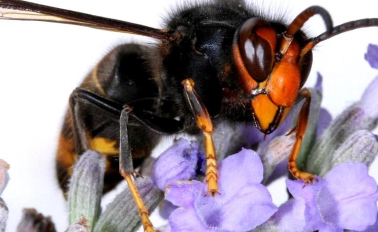 Gevaarlijke bijenkiller duikt op in België