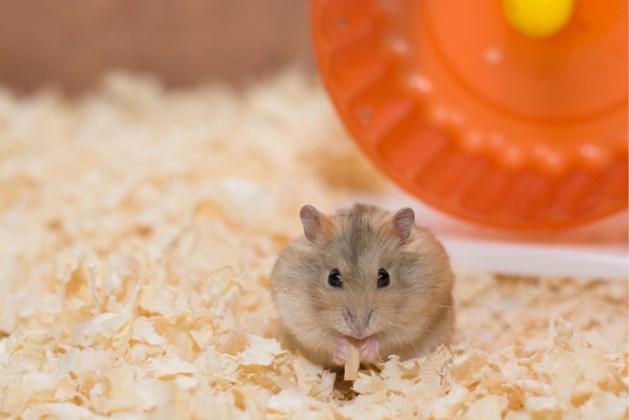 Meisje bezorgd omdat hamster niet beweegt: dit is de hilarische oorzaak