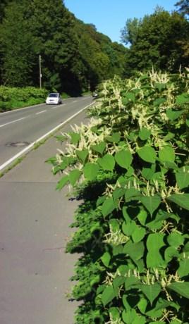 Wegen en Verkeer zoekt middel tegen onverwoestbare plant