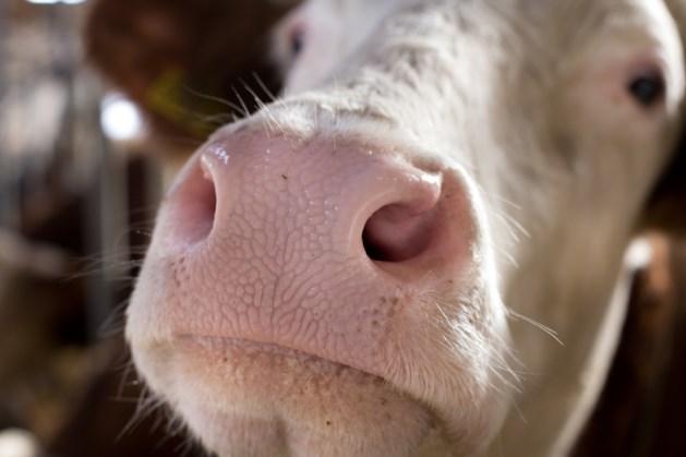 Man (59) had meermaals seks met koe, veroordeeld tot voorwaardelijke geldboete
