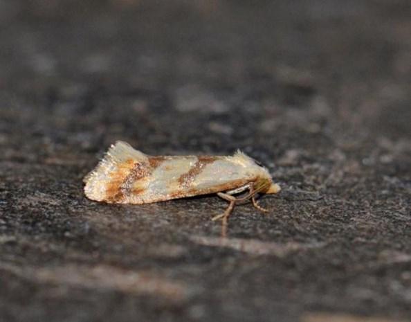 Zeldzame vlindersoorten gespot bij grindwerken aan Maas
