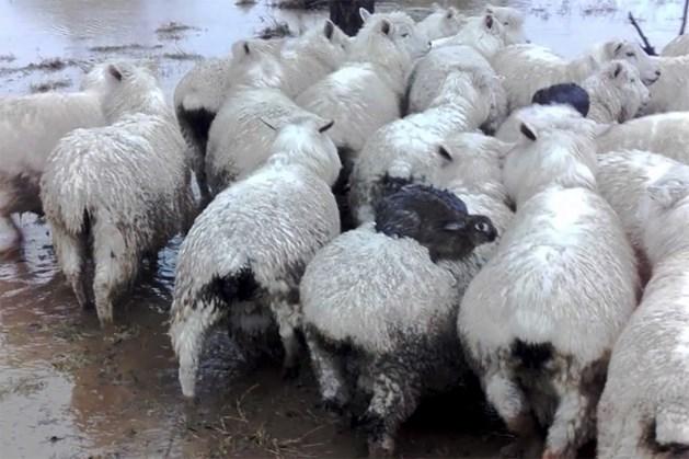 Slimme konijntjes springen op de rug van schapen om aan zondvloed te ontsnappen