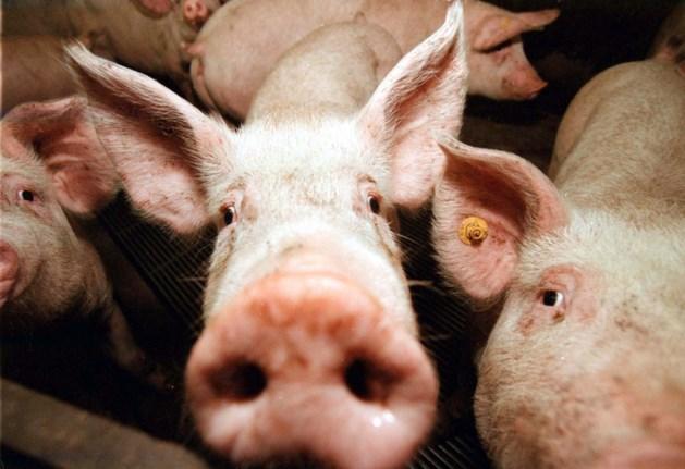 20.000 varkens omgekomen bij brand in Nederlandse Erichem
