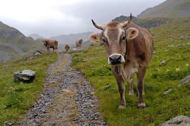 Wandelaar, pas op voor boze koeien in Oostenrijk