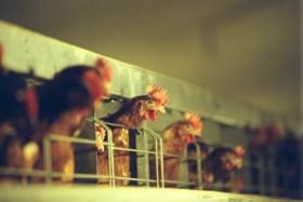 """Opgepast voor besmette eieren: """"Acuut gevaar"""""""