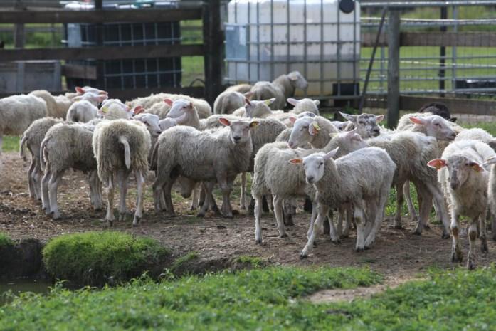 VZOC vangt 64 in beslag genomen schapen op