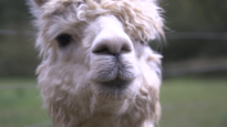 Stormloop verwacht voor verkoop alpaca's in Sint-Truiden