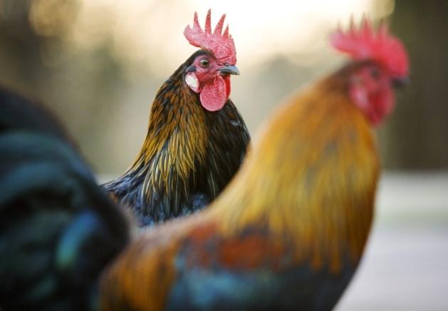 Sjoemelende Neerpeltse kippenboer krijg 10 maanden cel