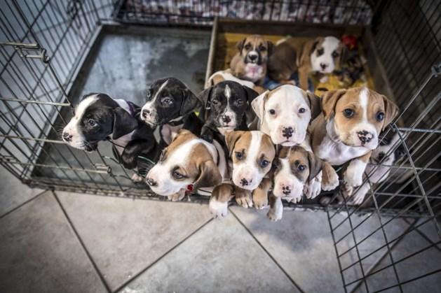 """Drie maanden cel voor couperen van twee honden: """"We zien dit niet meer door de vingers"""""""