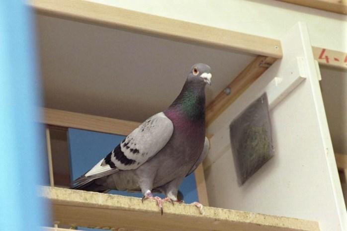 Boete van 30.000 euro voor dierenarts die duivendoping maakte