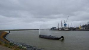 Tongerse potvis komt thuis in Friesland