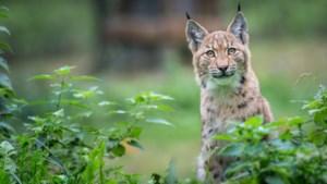 """Agent Dominiek Reyns verspreidde het filmpje van de lynx: """"Ik wist meteen dat het bijzondere beelden waren"""""""