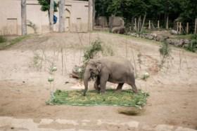 Planckendael moet onverwacht afscheid nemen van olifant Qiyo