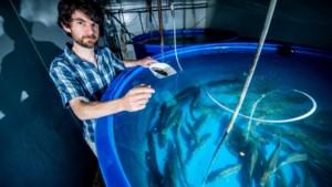 Vis van de toekomst… komt van de boerderij: ultramoderne Kinrooise kwekerij kweekt hele jaar door snoekbaars