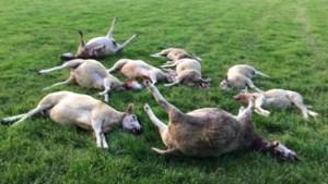 Tien doodgebeten schapen in weide