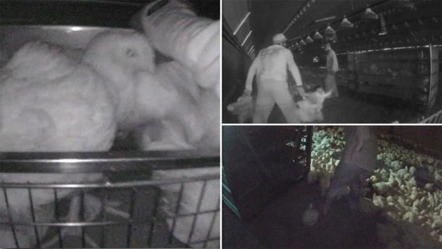 """Animal Rights kaart """"helse"""" omstandigheden van vleeskuikens aan in undercoverbeelden"""